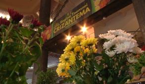 crizantema 1